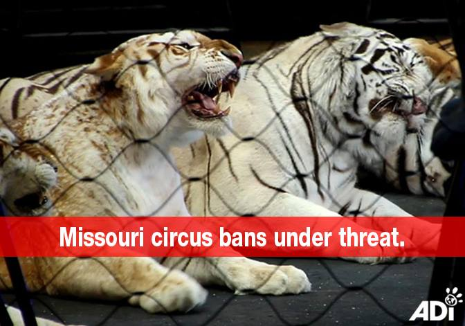 ADI Post - Missouri Circus Bans Under Threat - ACT NOW