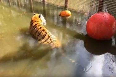 Speed hookup tiger tiger 25 september