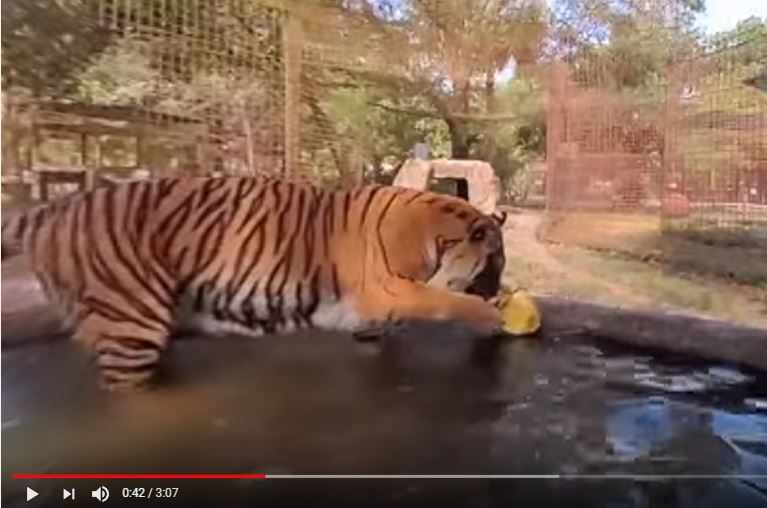 360 VR Big Cats and Easter Eggs