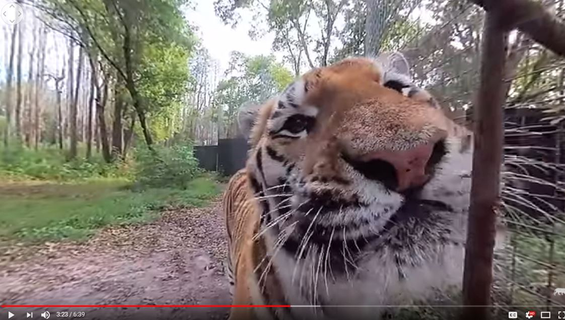 360 Video Scroll around, or move your phone to ride around the sanctuary and watch the tigers, Seth and Hoover eat, as well as cougars: Reise, Maya and Mac. See Dez Serval get his evening meds and check in on