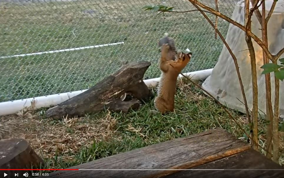 Baby Bobcat Vs Squirrel