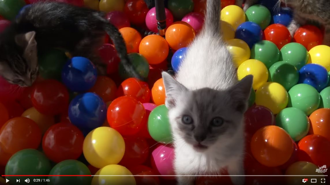 What is cuter than a bunch of kittens? Kittens having fun in a ball pit!!