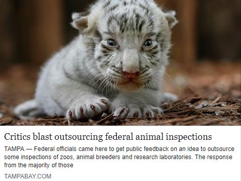 Big Cat Rescue's own Jennifer Leon stood up for captive big cats and is quoted in this article: Critics blast outsourcing federal animal inspections