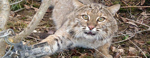 Urgent plea for Indiana bobcats