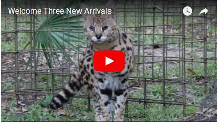 Big Cat Rescue welcomes 3 new arrivals to the sanctuary. Meet Hutch the serval, and our two new rehab bobcat kittens, Lucky and Clover.