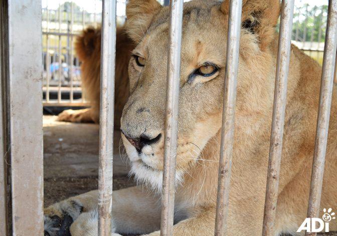 Guatemala Circus Cat Rescue