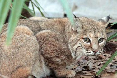 Black Panthers | Big Cat Rescue