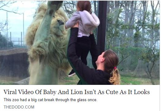 BCR's PR Director Susan explains why this viral video of a baby and lion at a roadside zoo in NC Isn't cute