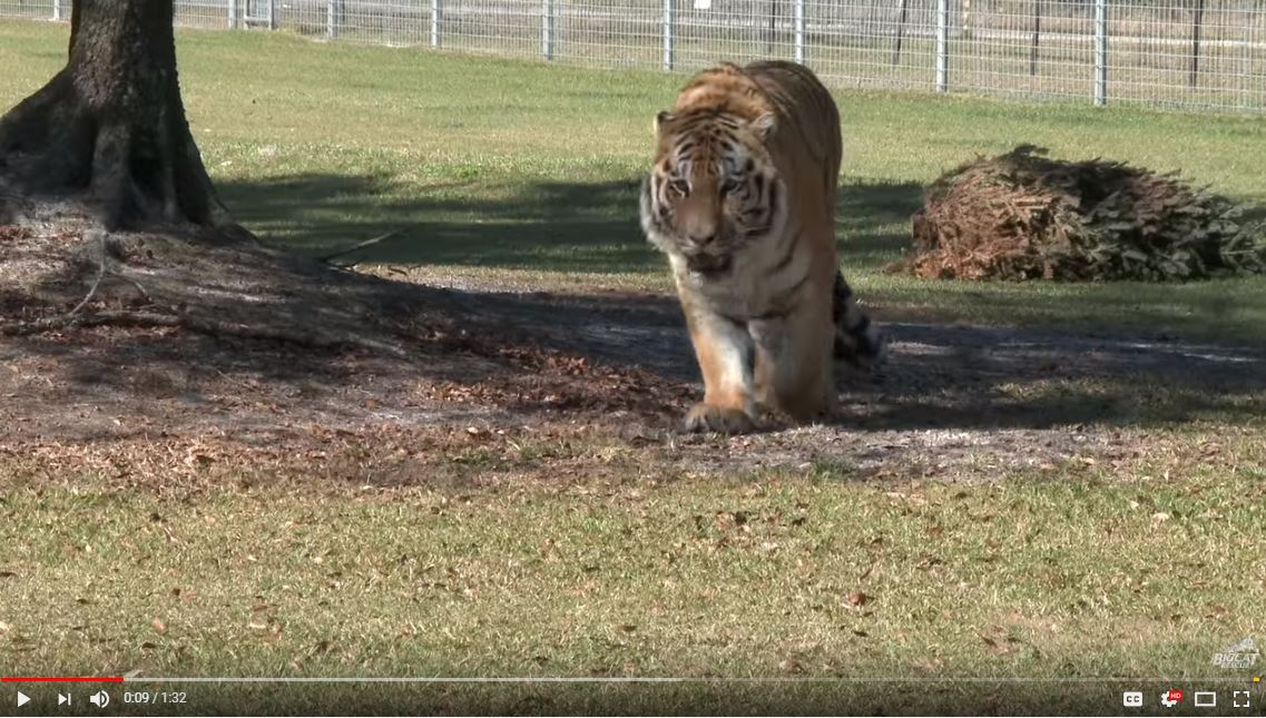 FAQ Friday: Introducing Big Cats - We see comments of the big cats looking lonely living my themselves, or it is suggested they need a friend. Big cats are solitary animals by nature and do not share territory well.