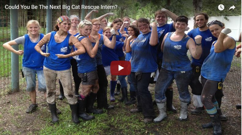 How to become an intern at Big Cat Rescue in Tampa Florida