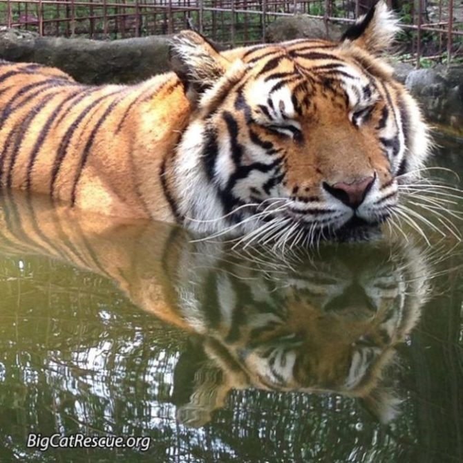 Priya Tiger can't decide if she wants to play in the pool or take a big cat nap. Photo by Sarah Copel