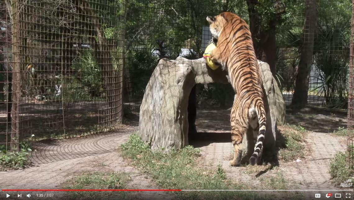 Priya Tiger Running, Chacing, Pouncing, Splashing, & Playing