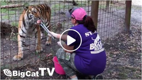 How do you Fleat Treat 70+ big hungry cats?