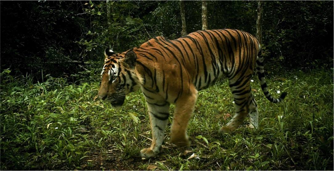 International Tiger Day 2019 - The Freeland Foundation