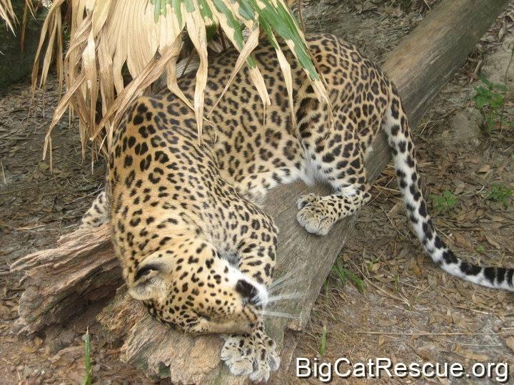 Armani Leopard loves her favorite log.