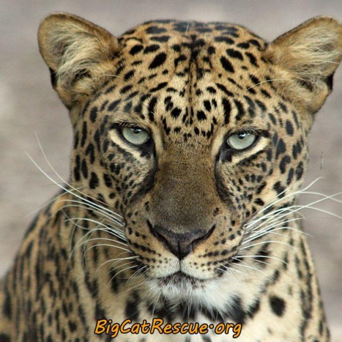 Armani Leopard