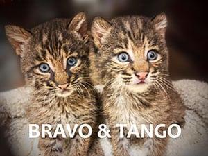 Bobcat Rehab Kittens Bravo & Tango