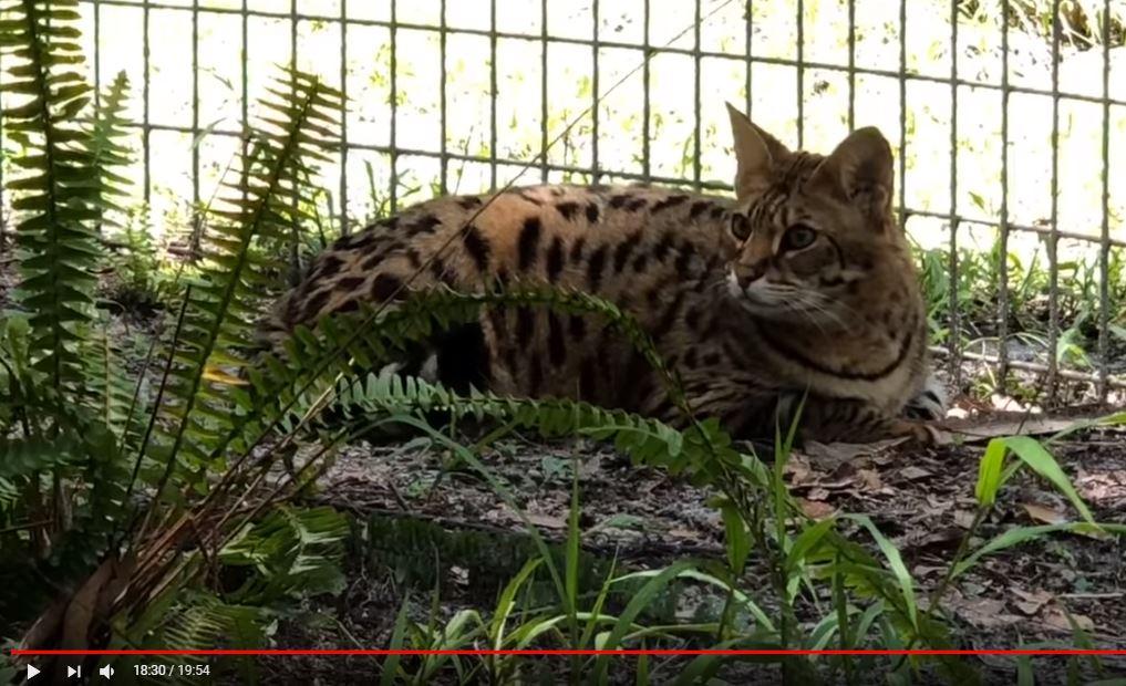 Simba Savannah Cat | Big Cat Rescue