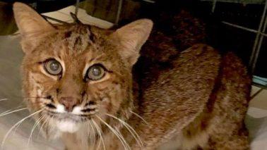 Breezy the bobcat at Big Cat Rescue