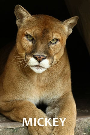 Mickey Mountain Lion
