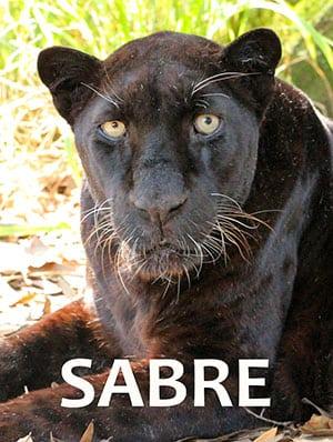 Sabre Black Leopard