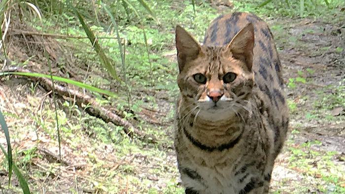 Simba Savannah Cat