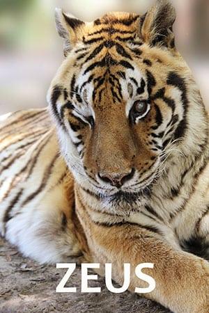 Zeus Tiger