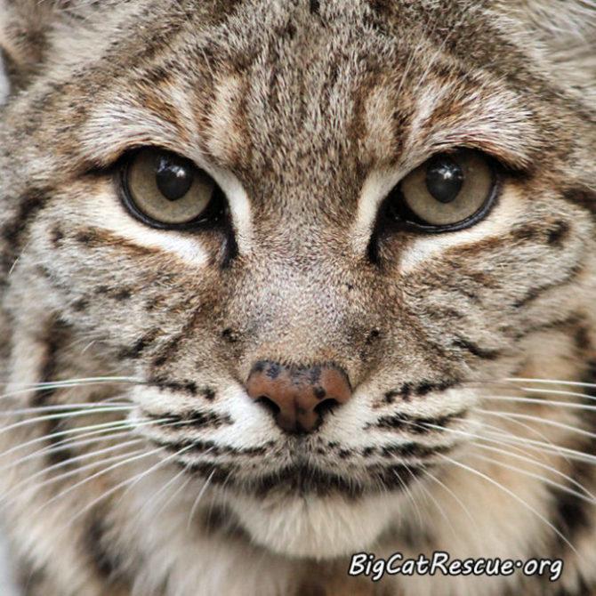 Breeezy Bobcat