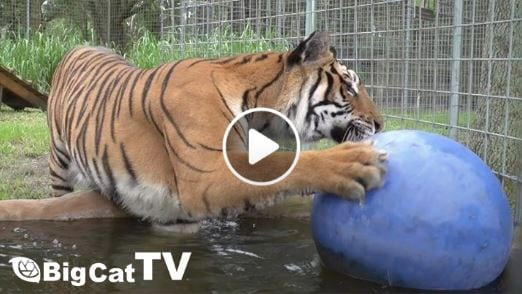 Video - Priya Tiger Being Silly in her new home - Priya the tiger is a very energetic big cat. And since she has so active, we wanted to give her a new open space for her to run around and be sill