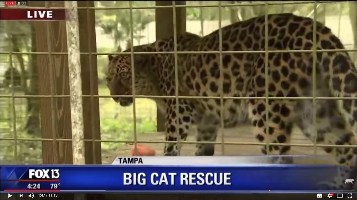 FOX 13 News at Big Cat Rescue
