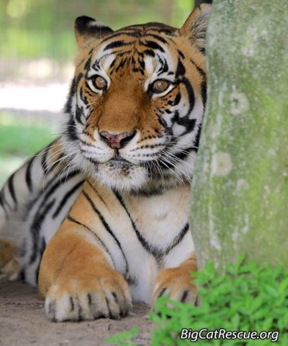 """""""GOOD MORNING,"""" from Gabrielle Tiger peeking out from behind her den. Photo by Jamie Veronica"""