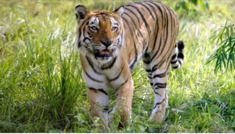 Big Cat Rescue's Action Alert for Avni tigress