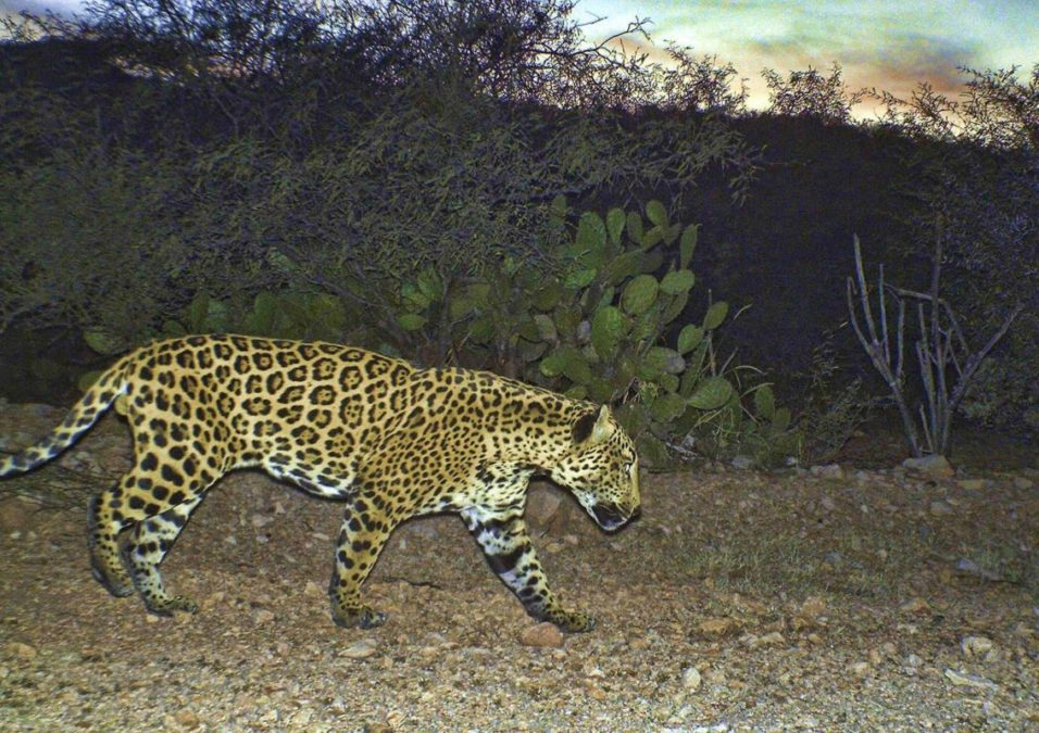 NORTHERN JAGUAR PROJECT