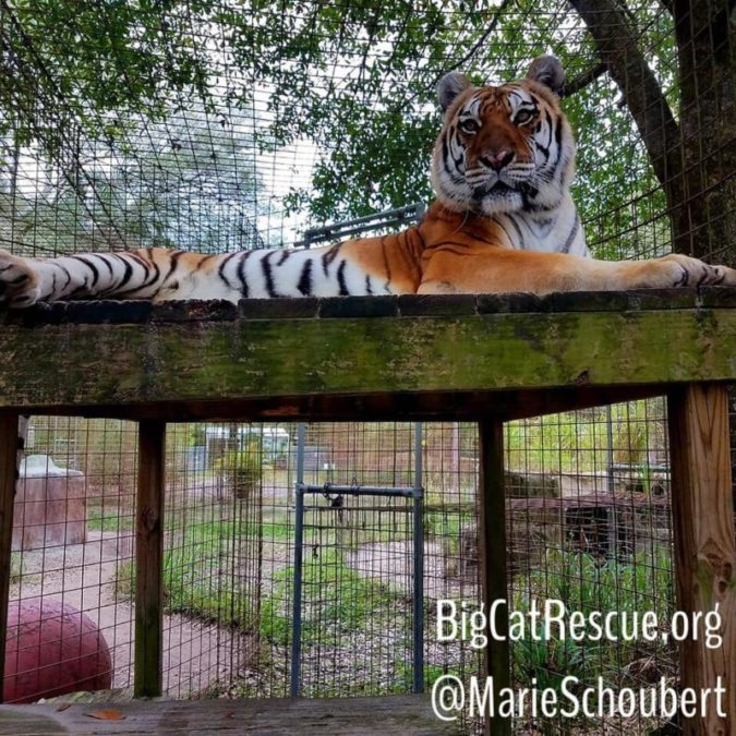 Kali Tiger KNOWS she is beautiful and likes showing you just how beautiful she is!