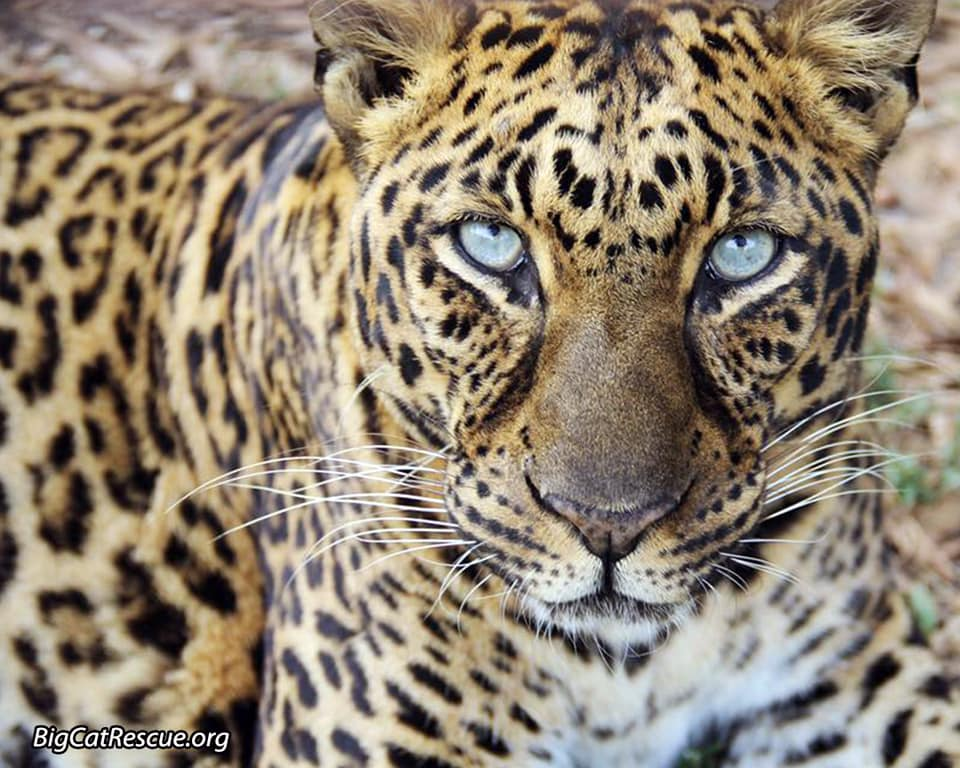 Beautiful Armani Leopard wishes you a wonderful Whiskers Wednesday! >>•