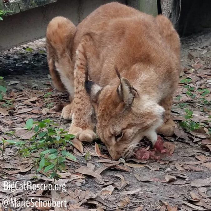 Apollo, an elderly Siberian Lynx, is one of Keeper Marie's favorite cats and she LOVES spoiling him with operant treats and daily sicles!