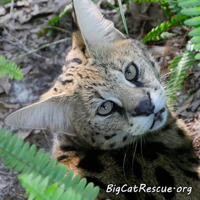Miss Nala Serval wishes you sweet dreams!