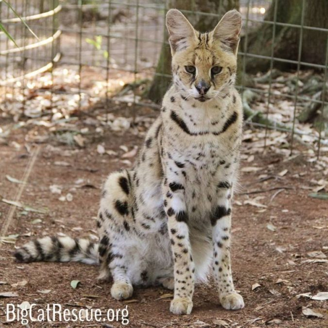 Isn't Servie Serval just the cutest?