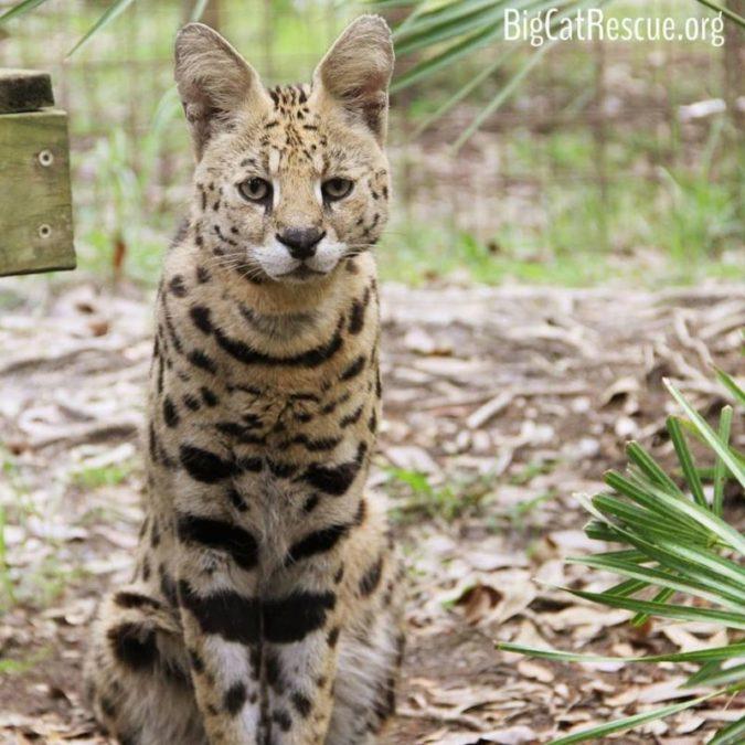 Hutch Serval