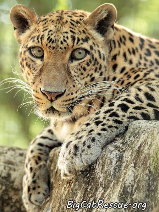 Beautiful Sundari Leopard is a great Whiskers Wednesday spokesperson! >>•