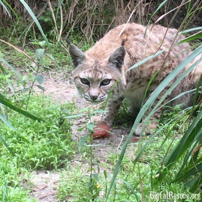 Elderly Tiger Lilly Bobcat LOVES her afternoon Bloodsicles! She gets one every day to help her stay cool and hydrated!