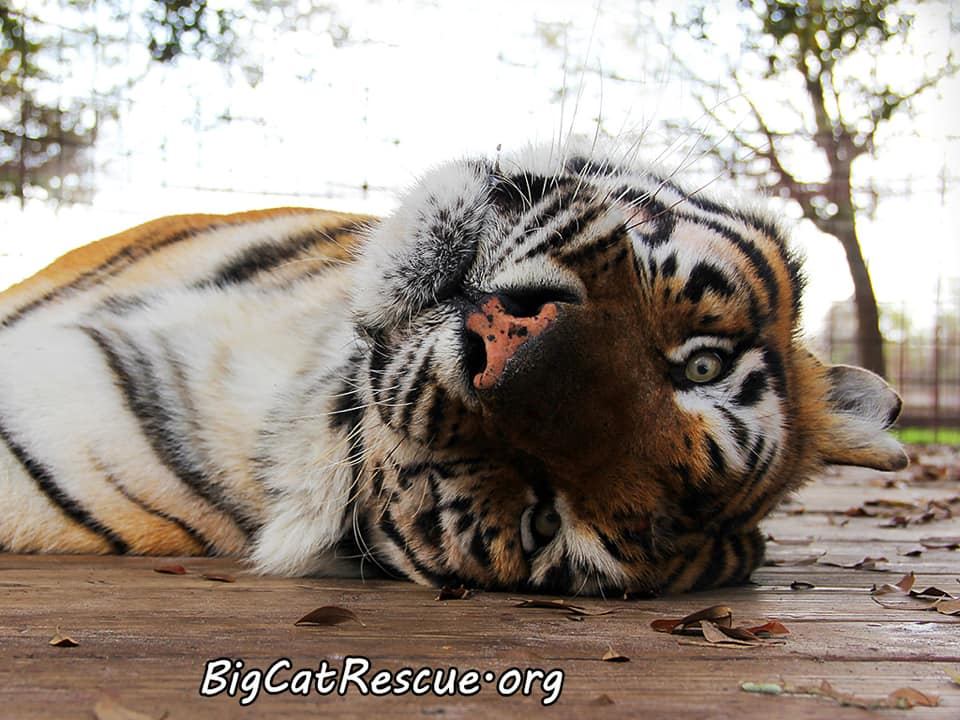 Silly Andre Tiger is watching the world go by (upside down) on this peaceful night! ⭐️