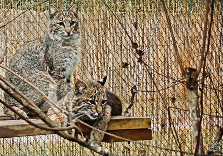 Bravo and Tango Bobcats are watching closely for breakfast!
