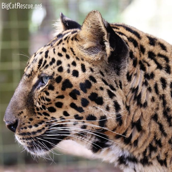 Armani Leopard is 21 years old but still acts like a cub when it comes to treats and enrichment
