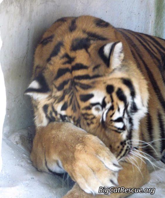 Hoover Tiger