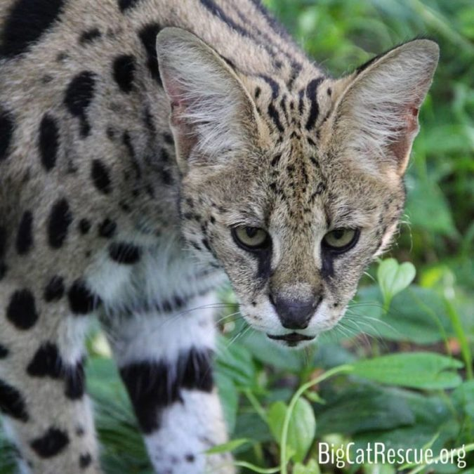 Nala Serval isn't impressed but she sure is an impressive and beautiful serval!