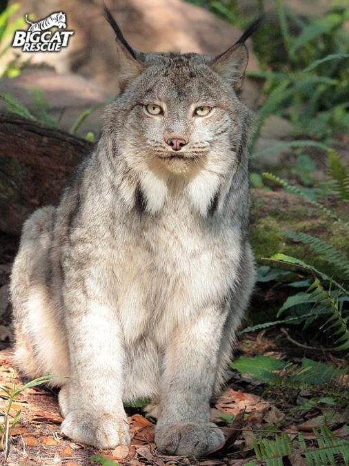 Handsome Gilligan Lynx wishes you the happiest of FURidays!