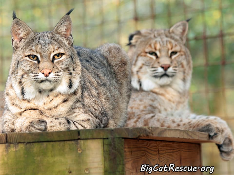 Lovey and Thurston Bobcats are ready for a restful night.