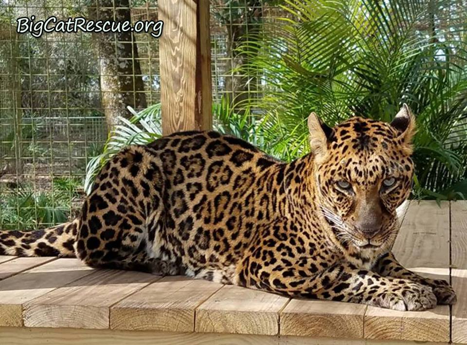 Have you ever wondered how Big Cat Rescue got started? Check out the early beginnings and the journey to today at Facebook.com/groups/BigCatRescueUnits/ One there go to the History and Evolution link. Photo of Armani Leopard by Marie Schoubert