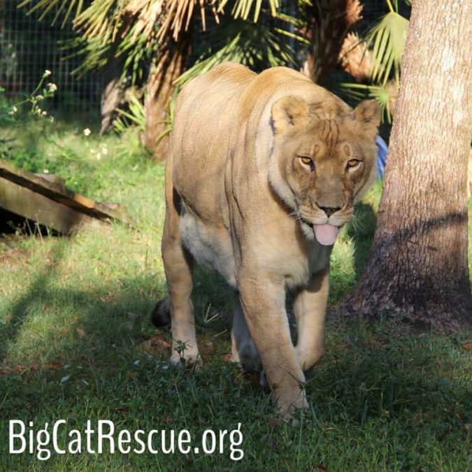 Queen Nikita Lioness is ready for the weekend = Keeper Tour! bigcatrescue.org/tickets The Keeper Tour is my all time favorite tour because guests help keeper make fun enrichment goodies for the cats and then they walk around with a keeper to see the cats get the goodies.